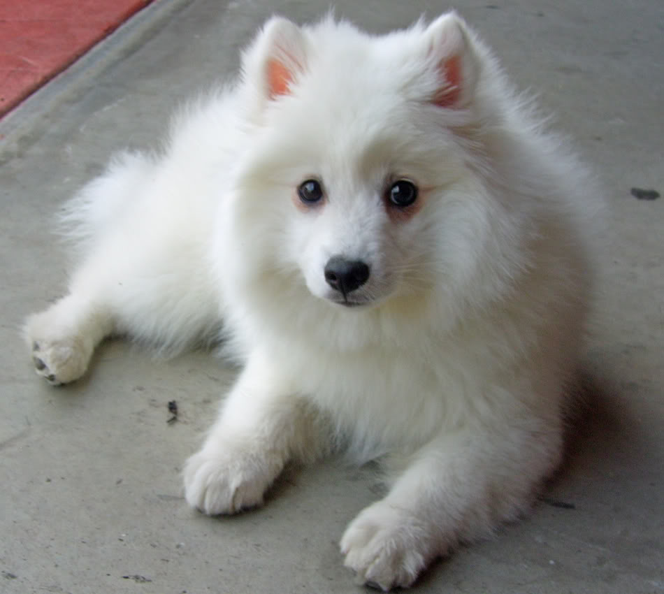 Japanese Spitz Puppies Rescue Pictures Information