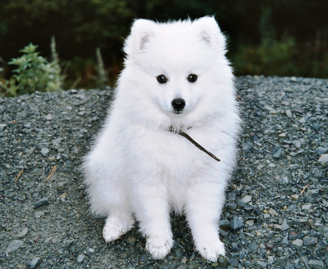 Japanese Spitz Puppies Rescue Pictures Information Temperament