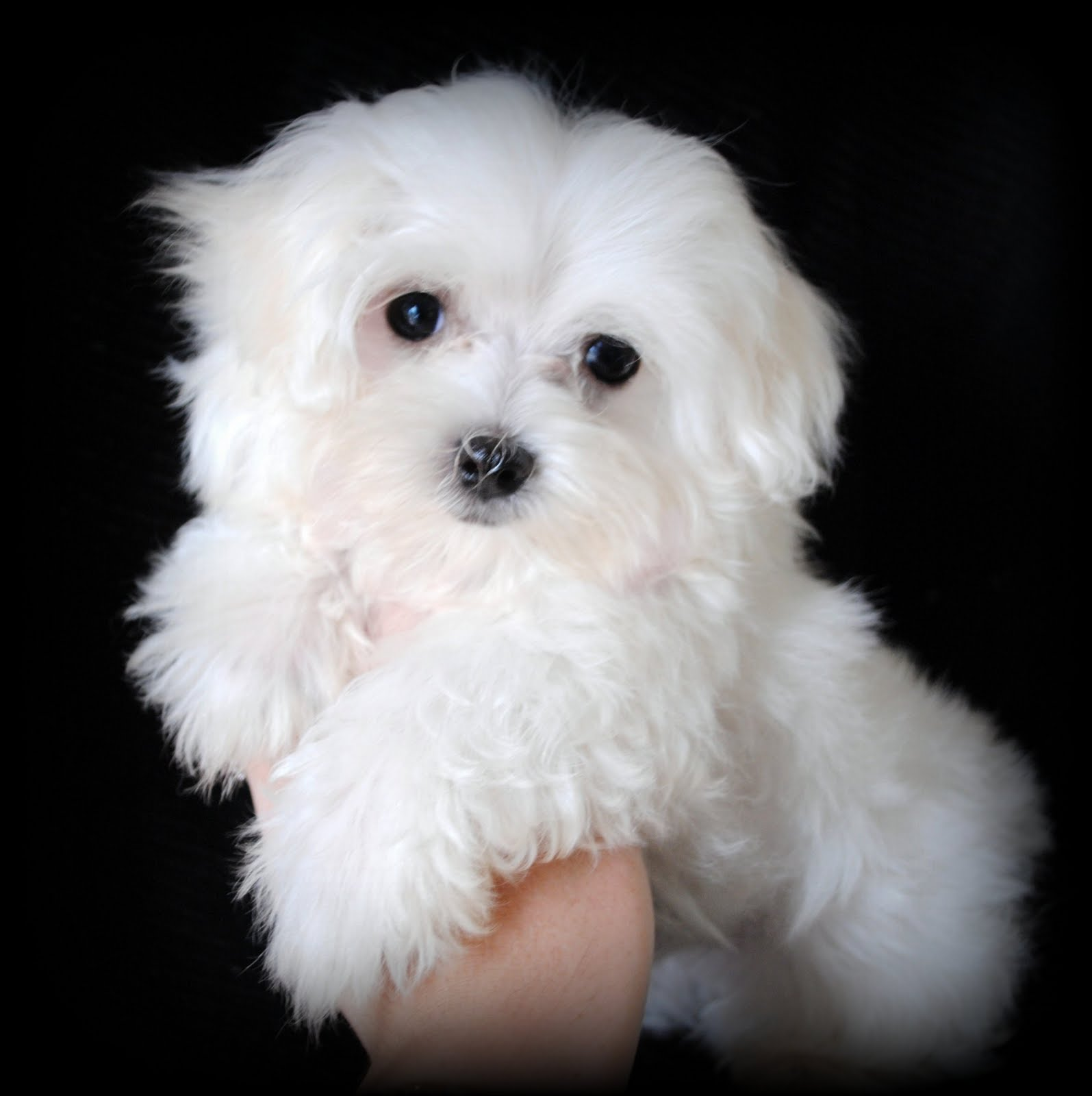 facts about maltese dogs maltese dog puppies rescue pictures information 4278