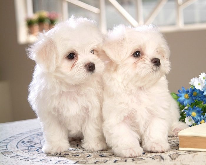 facts about maltese dogs maltese dog puppies rescue pictures information 3041