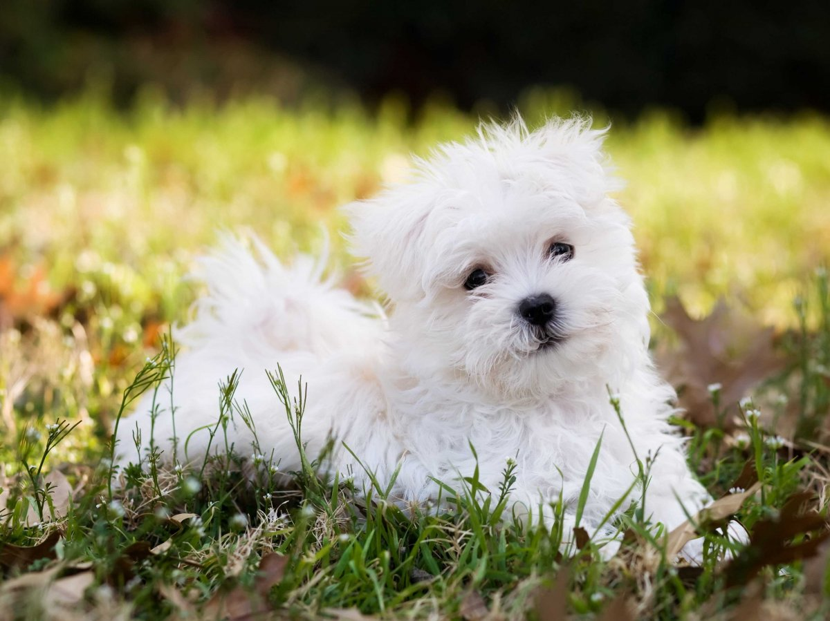 Maltese Terrier Rescue Dog