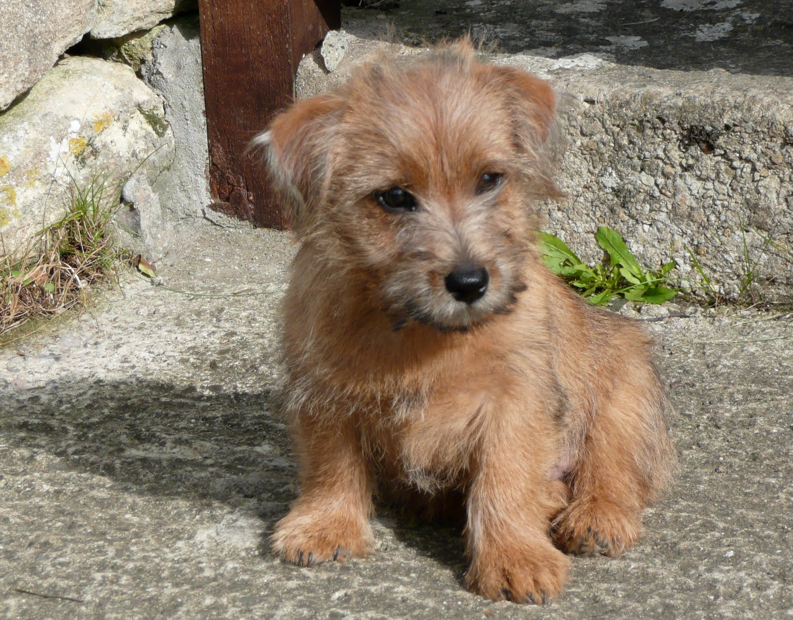 Dog Breeds Terrier Group