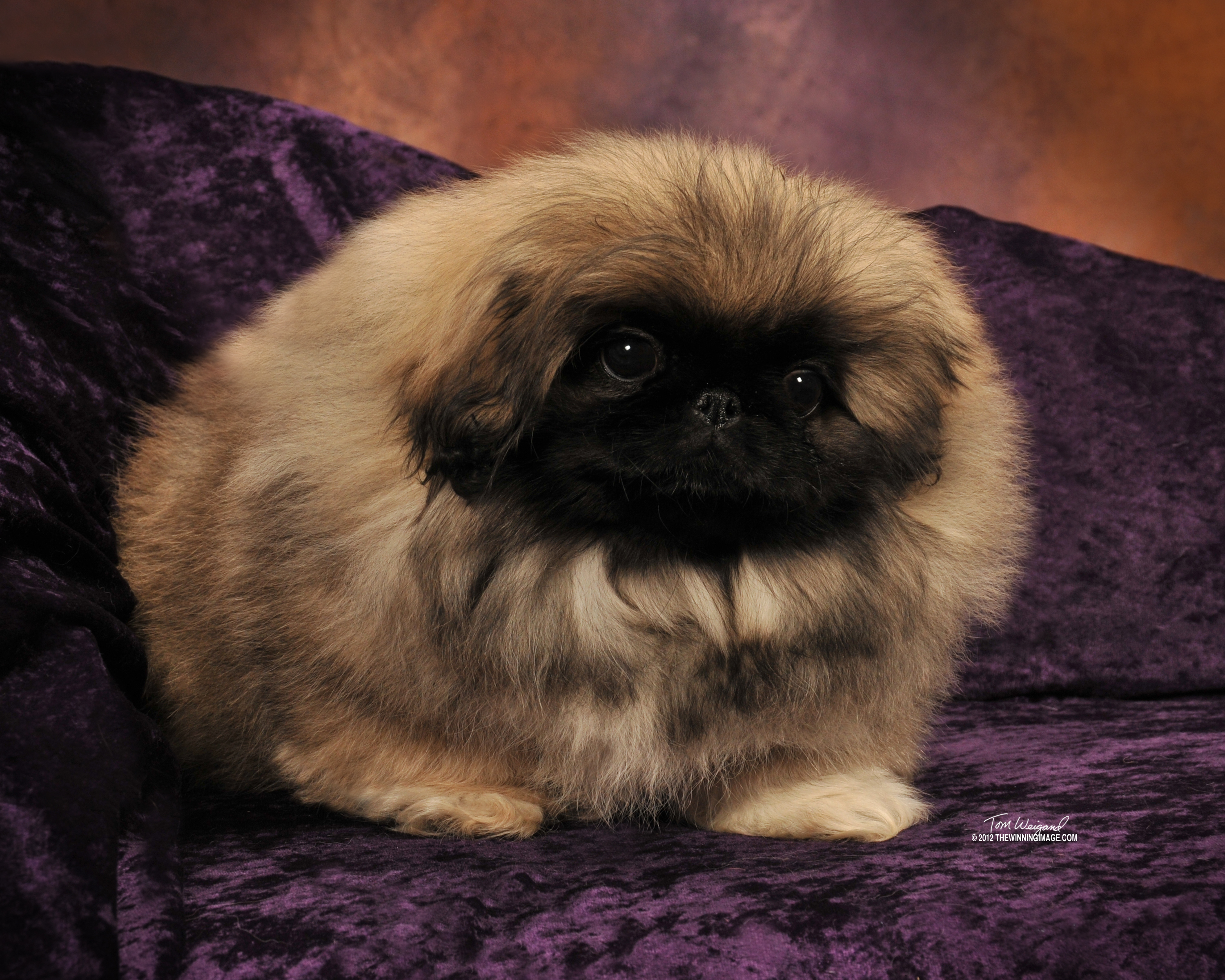How Many Puppies Can A Pekingese Dog Have
