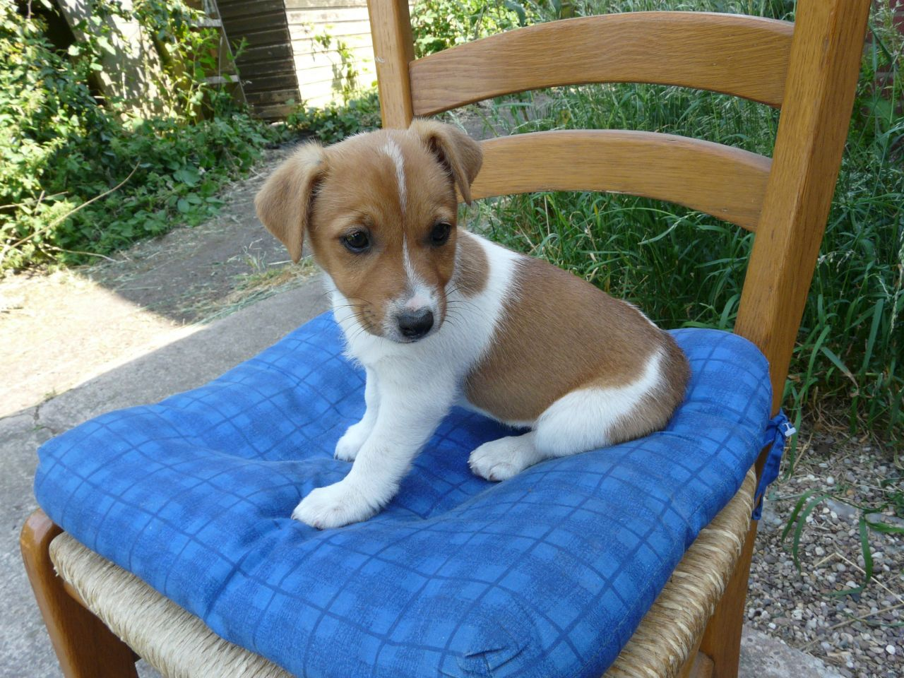 jack russell terrier characteristics plummer terrier puppies rescue pictures information 6153