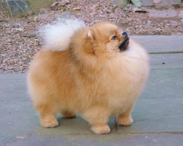 fat pomeranian pomeranian puppies rescue pictures information 4739