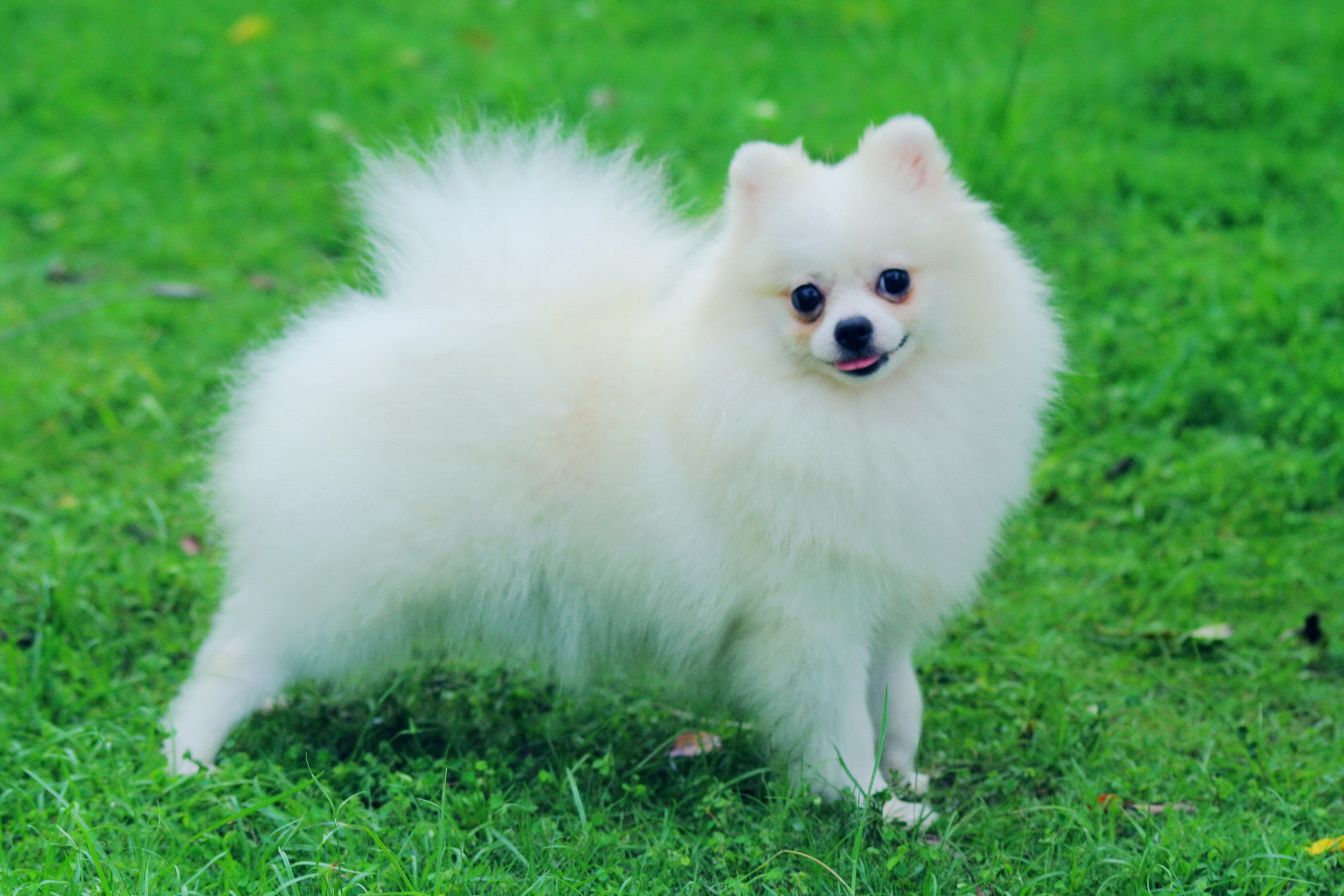 buy pomeranian pomeranian puppies rescue pictures information temperament characteristics 1011