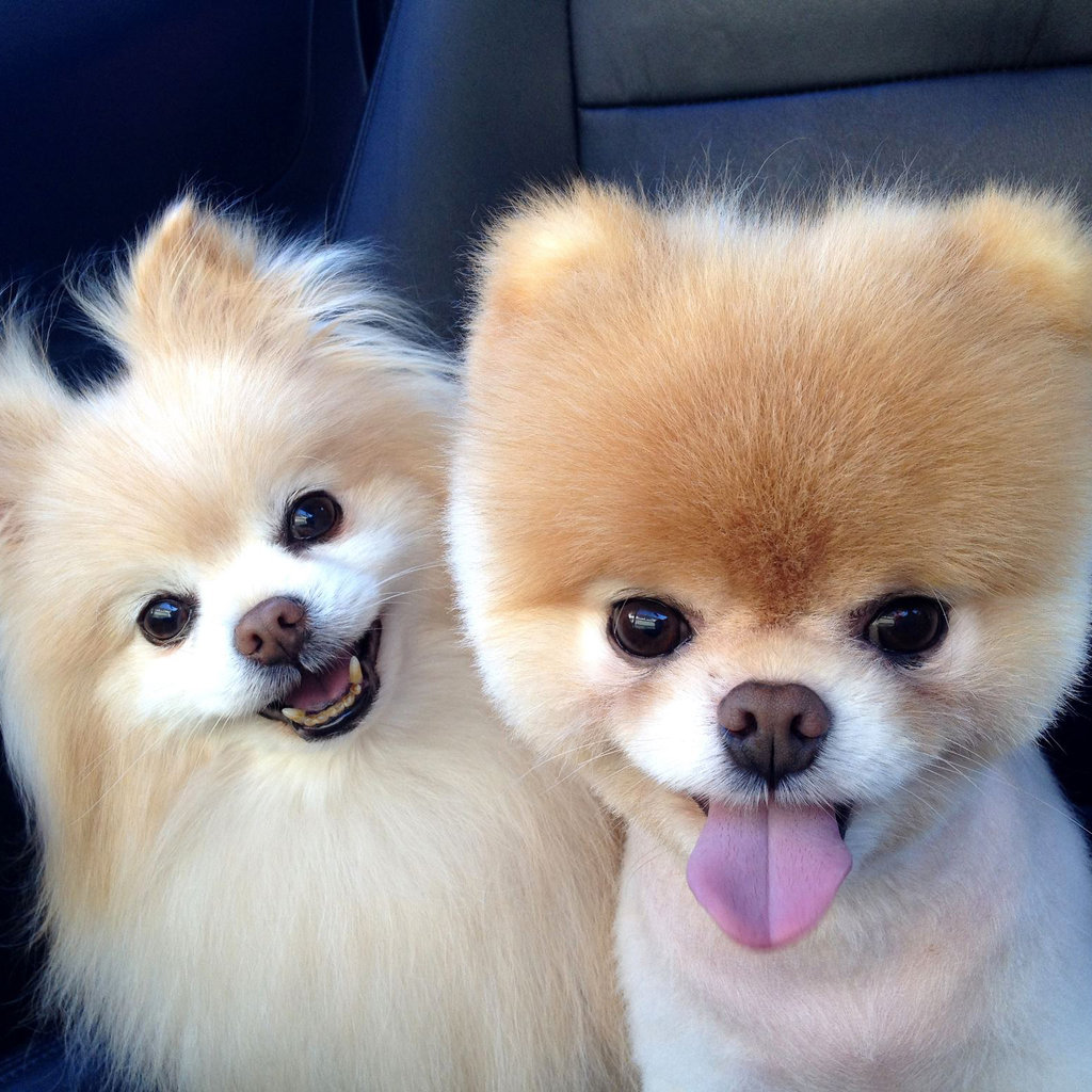 pomeranian toy dogs pomeranian puppies rescue pictures information 1407