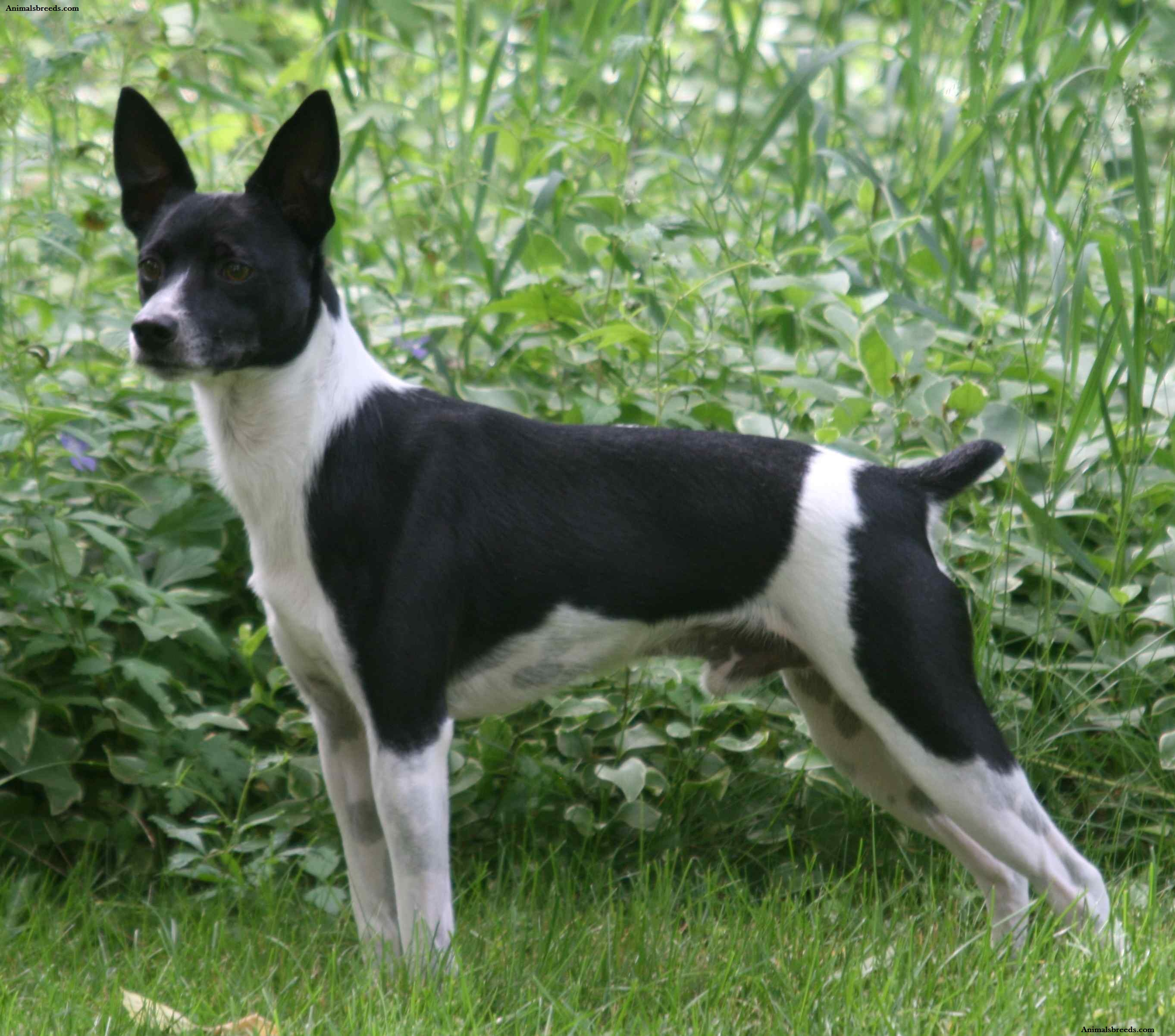 rat terrier price rat terrier puppies rescue pictures information temperament characteristics 242