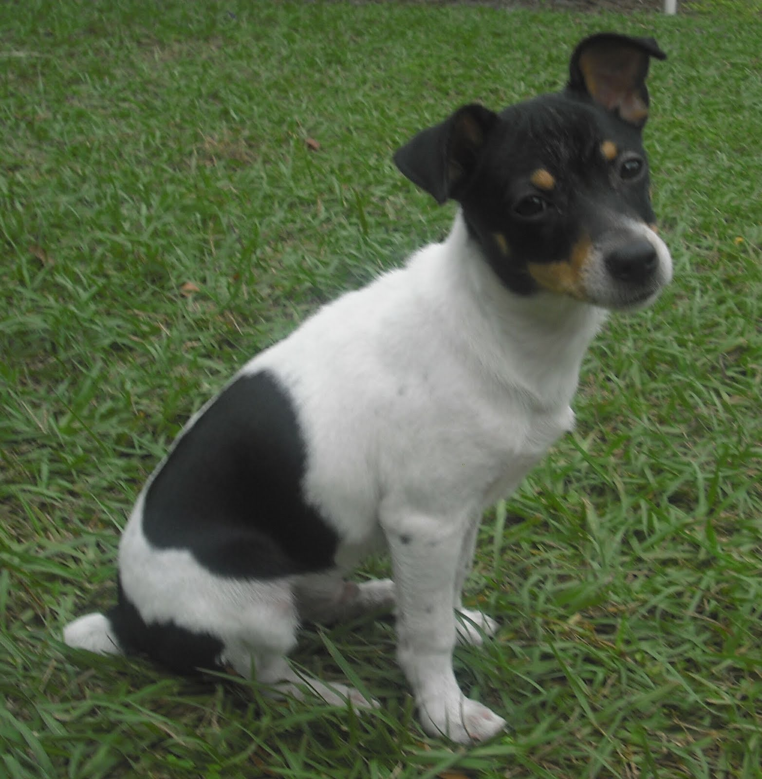 rat terrier price rat terrier puppies rescue pictures information temperament characteristics 9728
