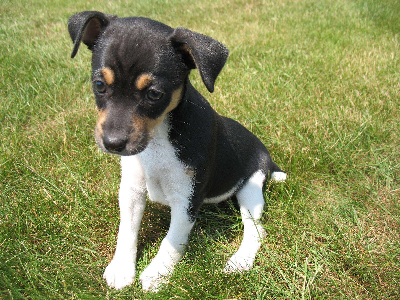 rat terrier price rat terrier puppies rescue pictures information temperament characteristics 2672