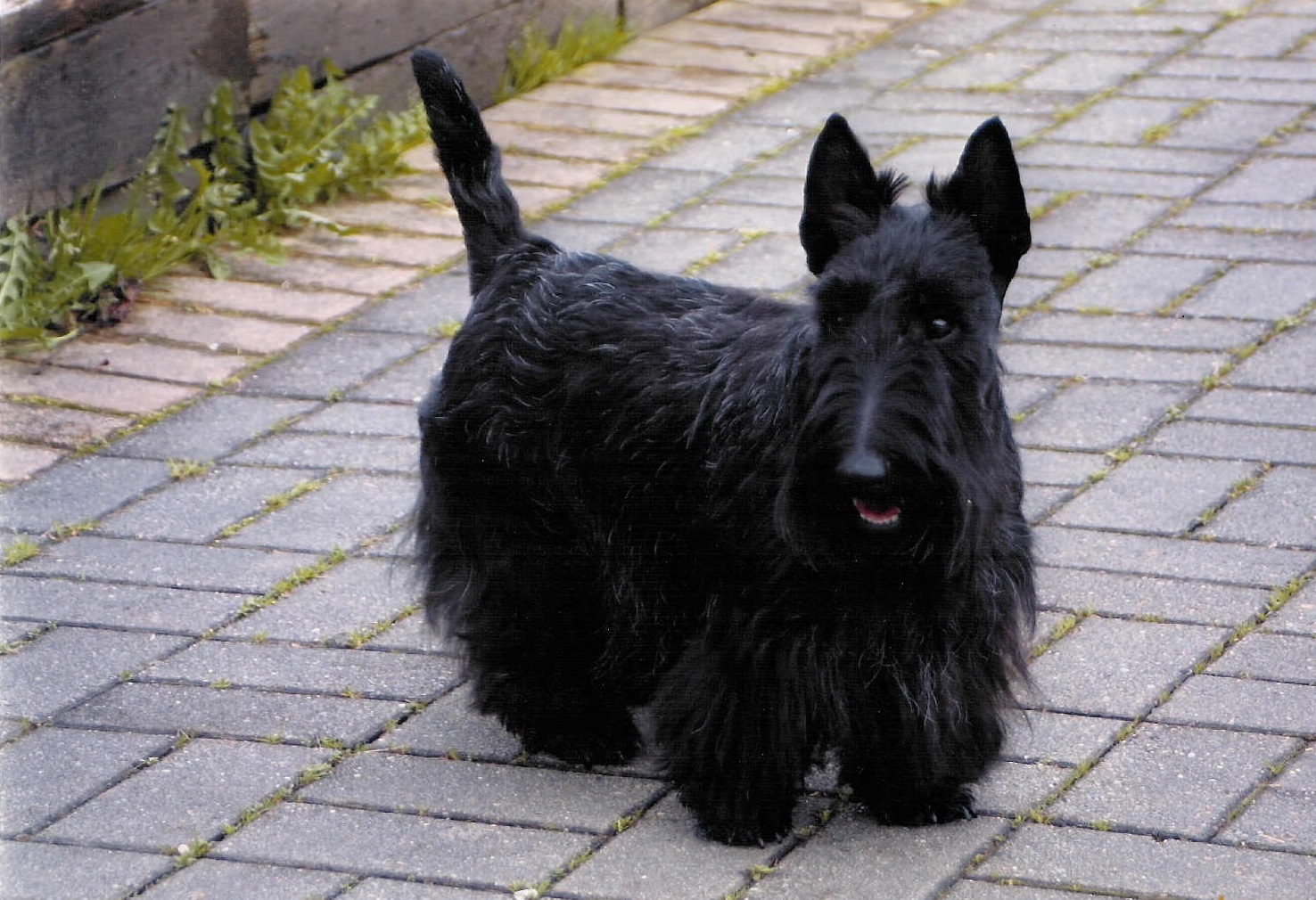 Scottish Terrier Rescue Dogs