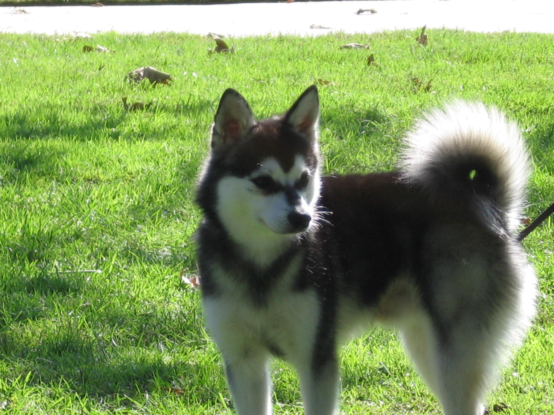 Alaskan Klee Kai Puppies Rescue Pictures Information
