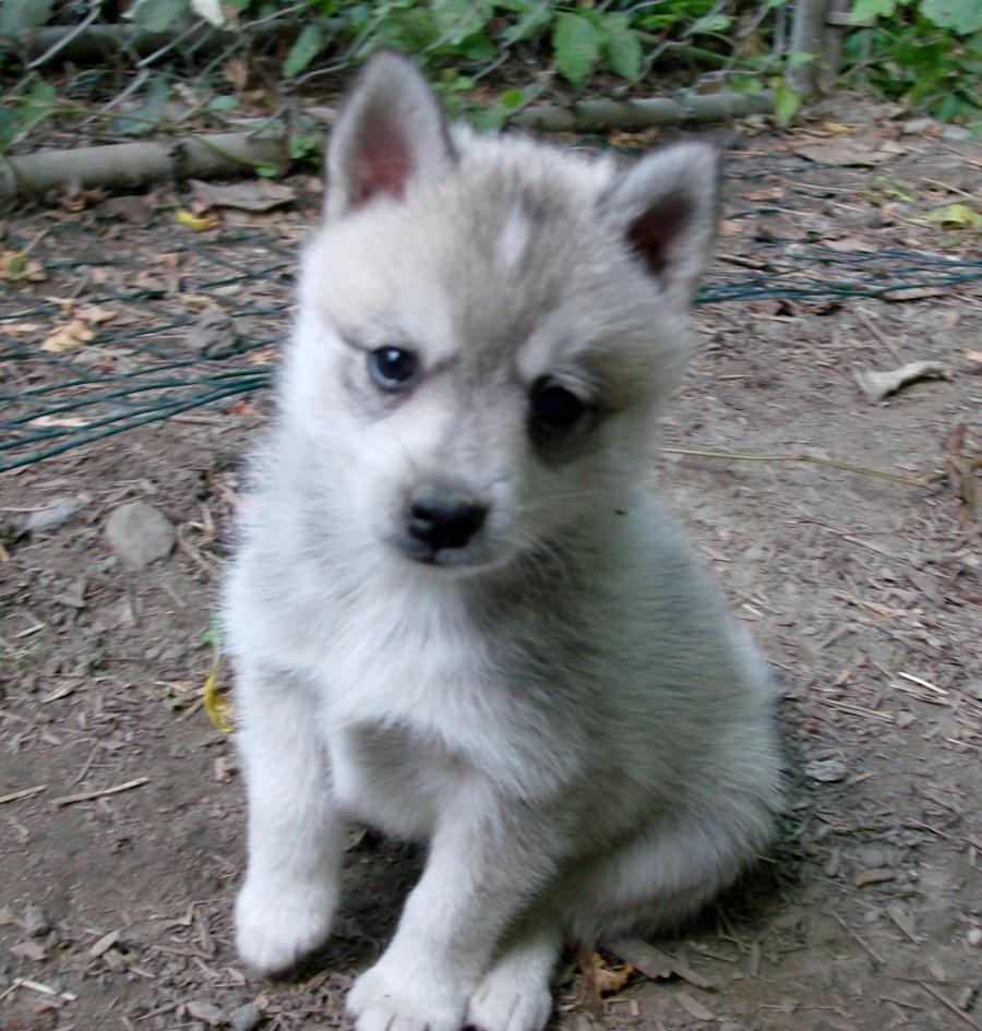 Dogs Like Alaskan Klee Kai