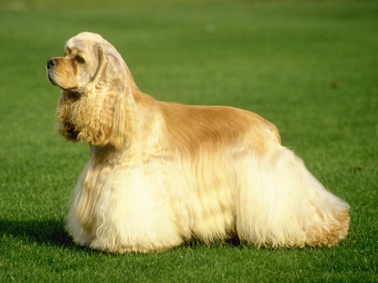 Cocker Spaniel Dog Breed Facts And Information
