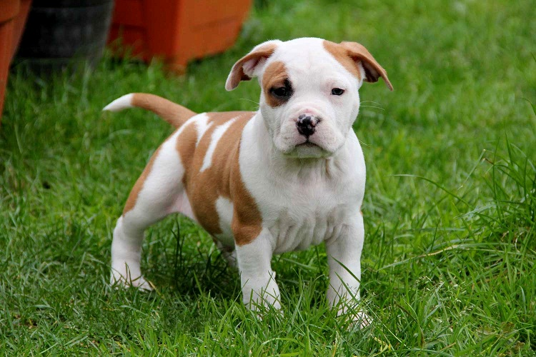 American Staffordshire Terrier - Puppies, Rescue, Pictures ... American Staffordshire Terrier 2014