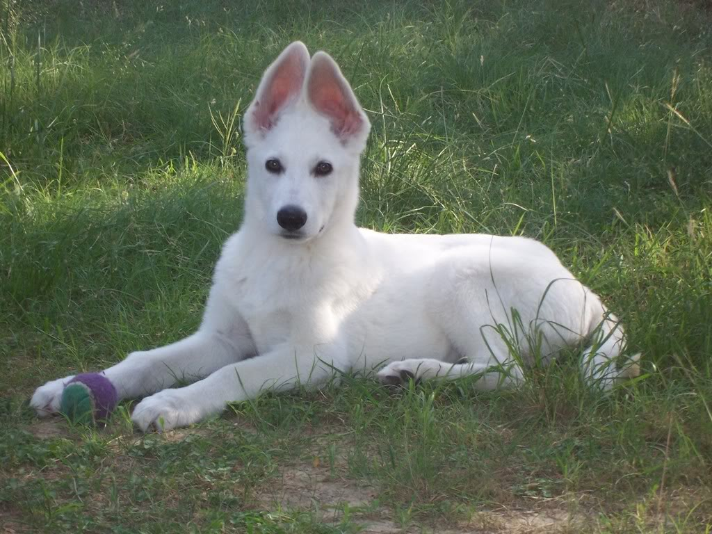 American White Shepherd Puppies Rescue Pictures