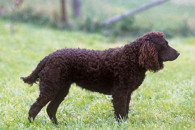 American Water Spaniel Puppies Rescue Pictures Information Temperament Characteristics Animals Breeds