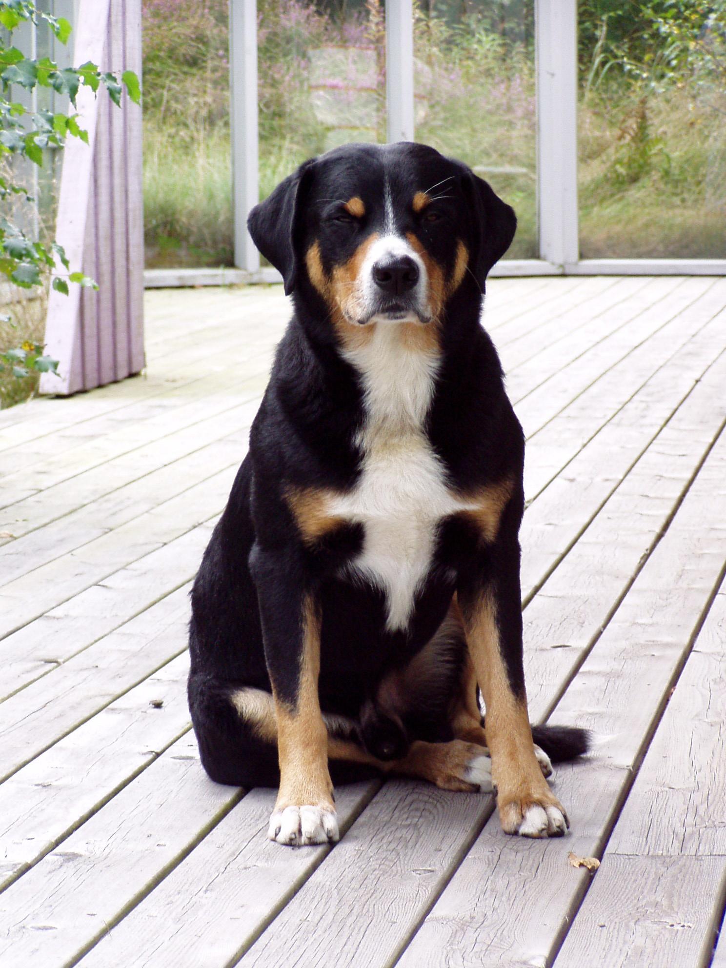 Appenzeller sennenhund Puppies, Rescue, Pictures