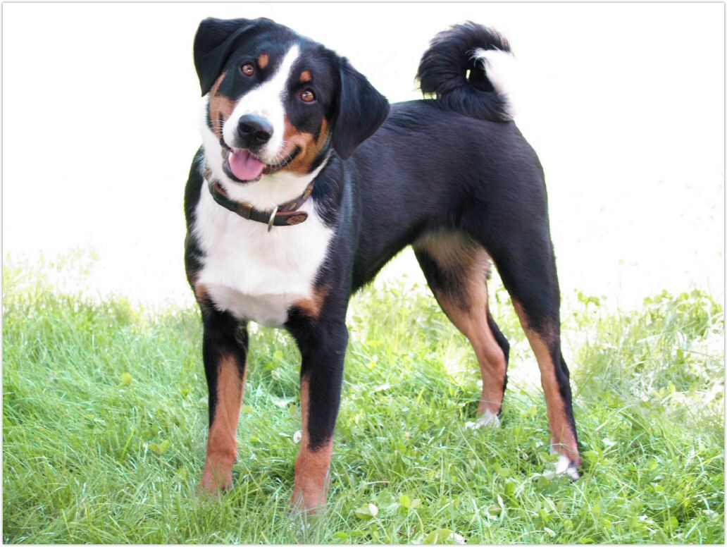 Appenzell Mountain Dog Rescue