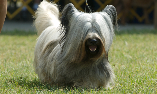 Skye Terrier Puppies Rescue Pictures Information