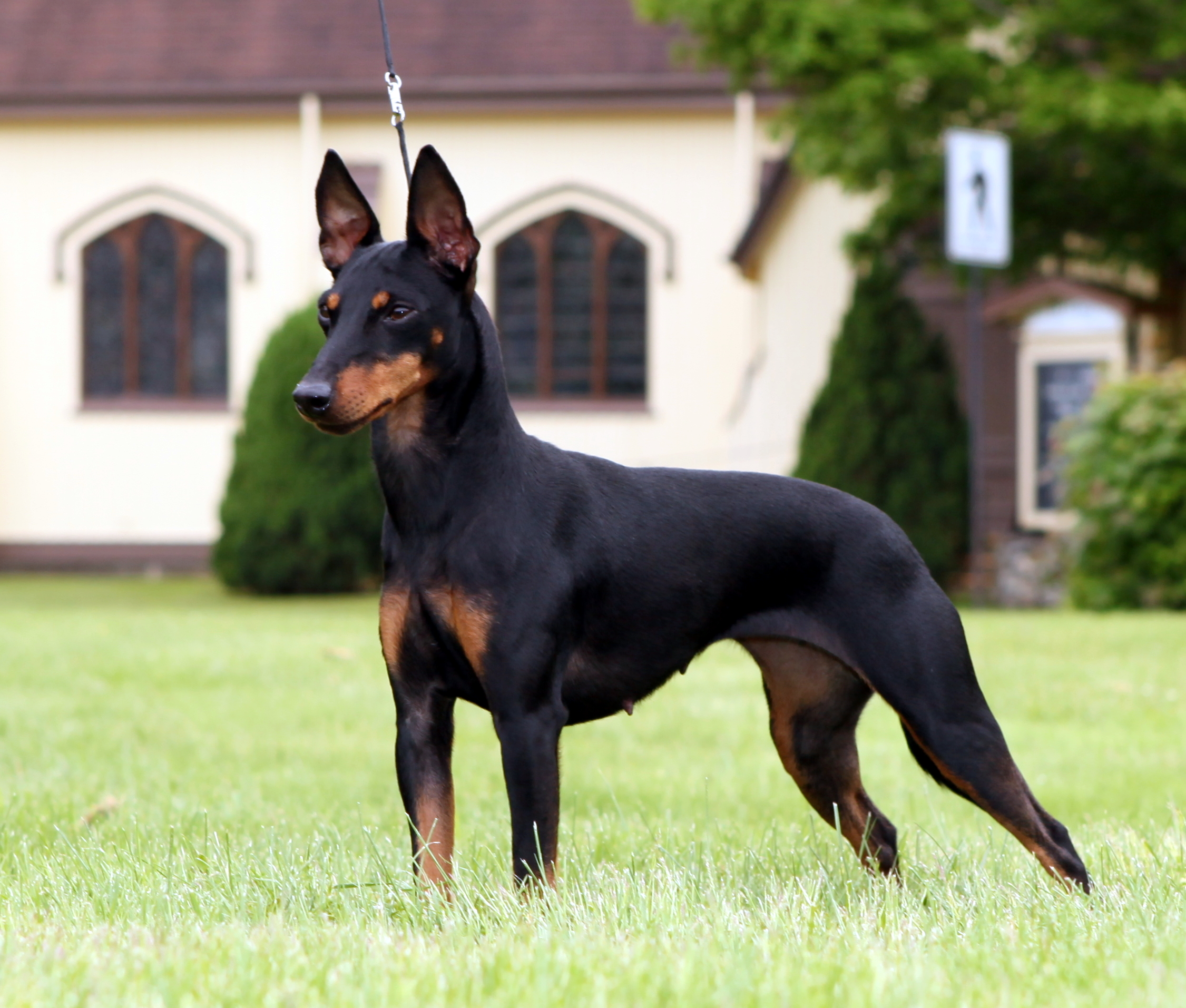 Toy Manchester Terrier Puppies Rescue Pictures