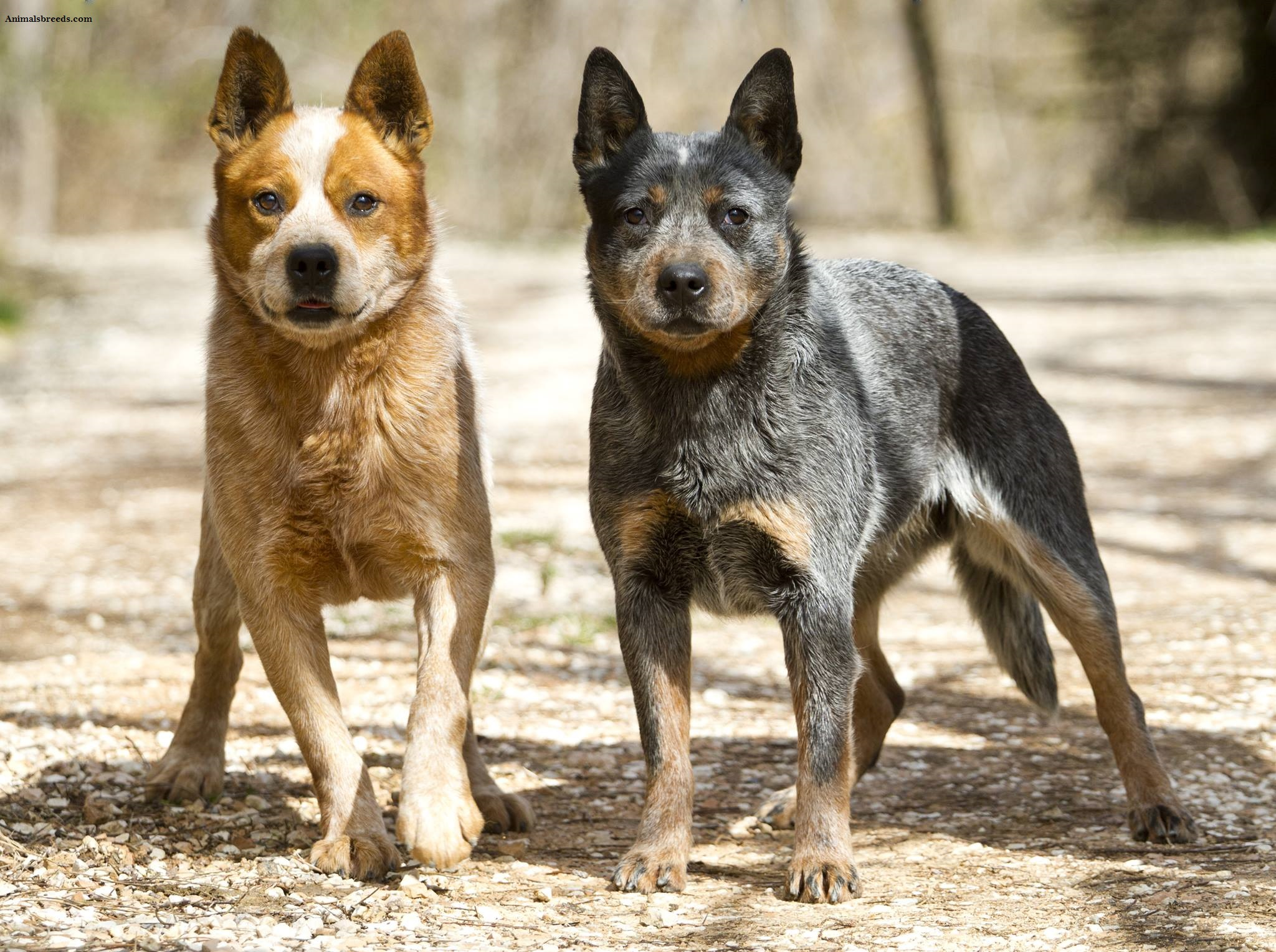 Australian Cattle Dog Puppies Rescue Pictures Information Temperament Characteristics Animals Breeds