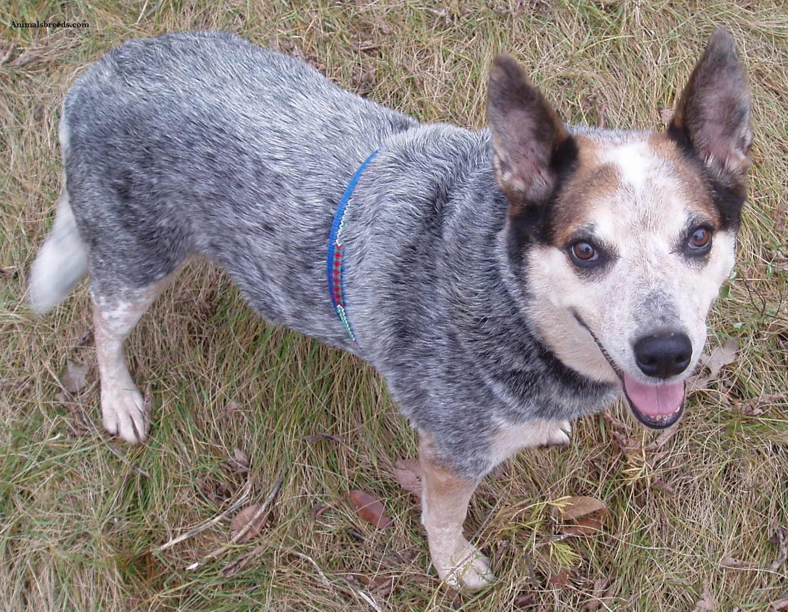 Red Cattle Dog Names