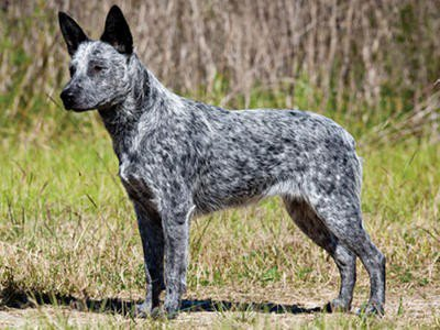 Australia Cattle Dog Pups