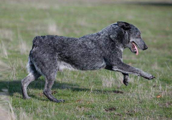 Australian Cattle Dog Food