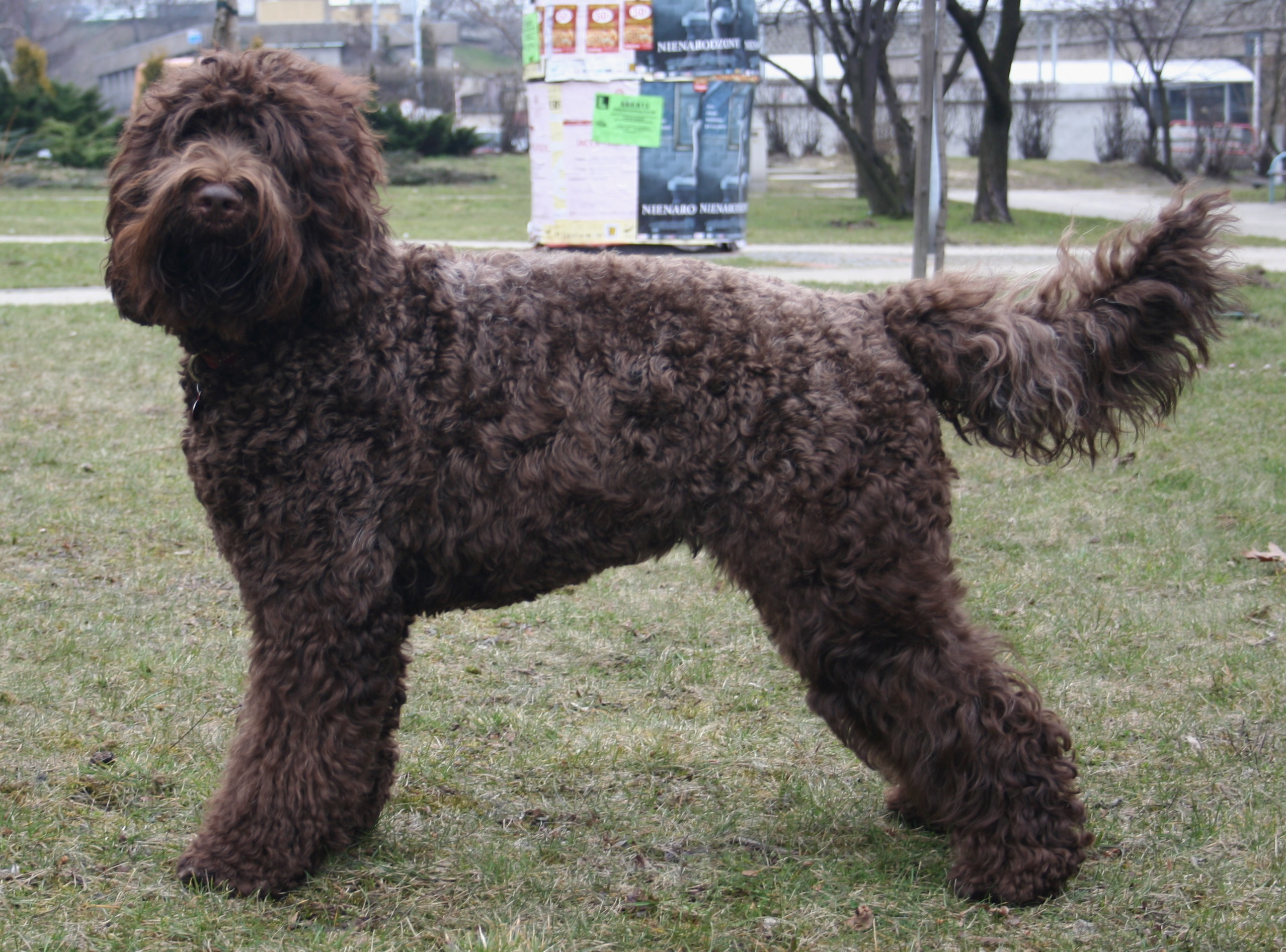 French Poodle Dog Breed