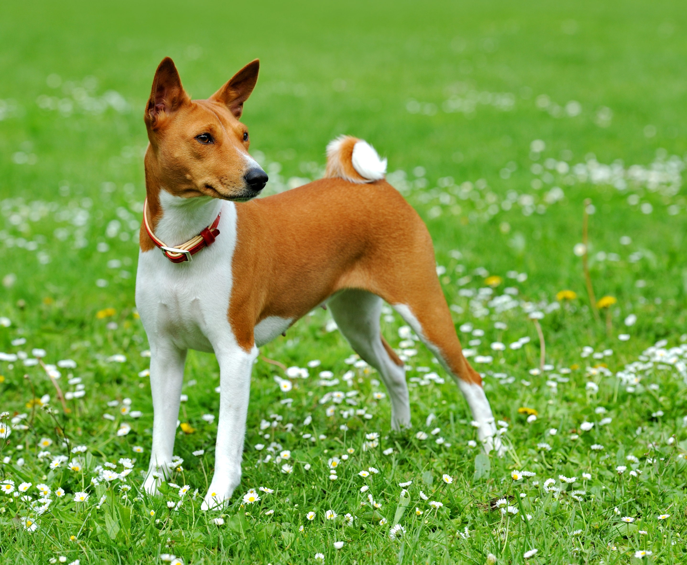 Best Food For Puppy Basenji