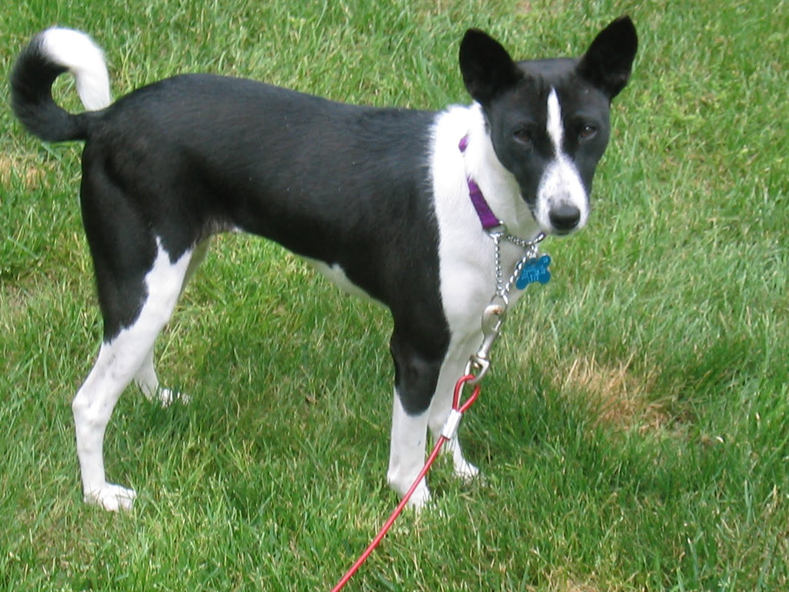 Best Food For Puppies >> Basenji - Puppies, Rescue, Pictures, Information, Temperament, Characteristics | Animals Breeds