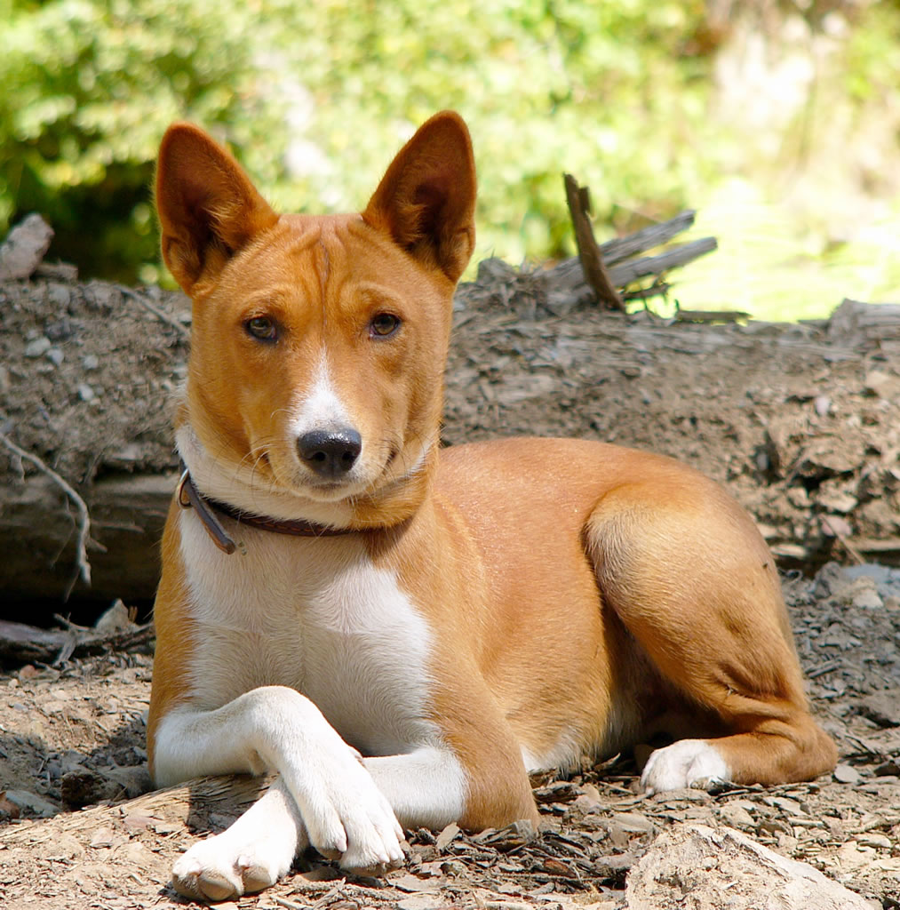 Is A Basenji Hypoallergenic Dog Breeds