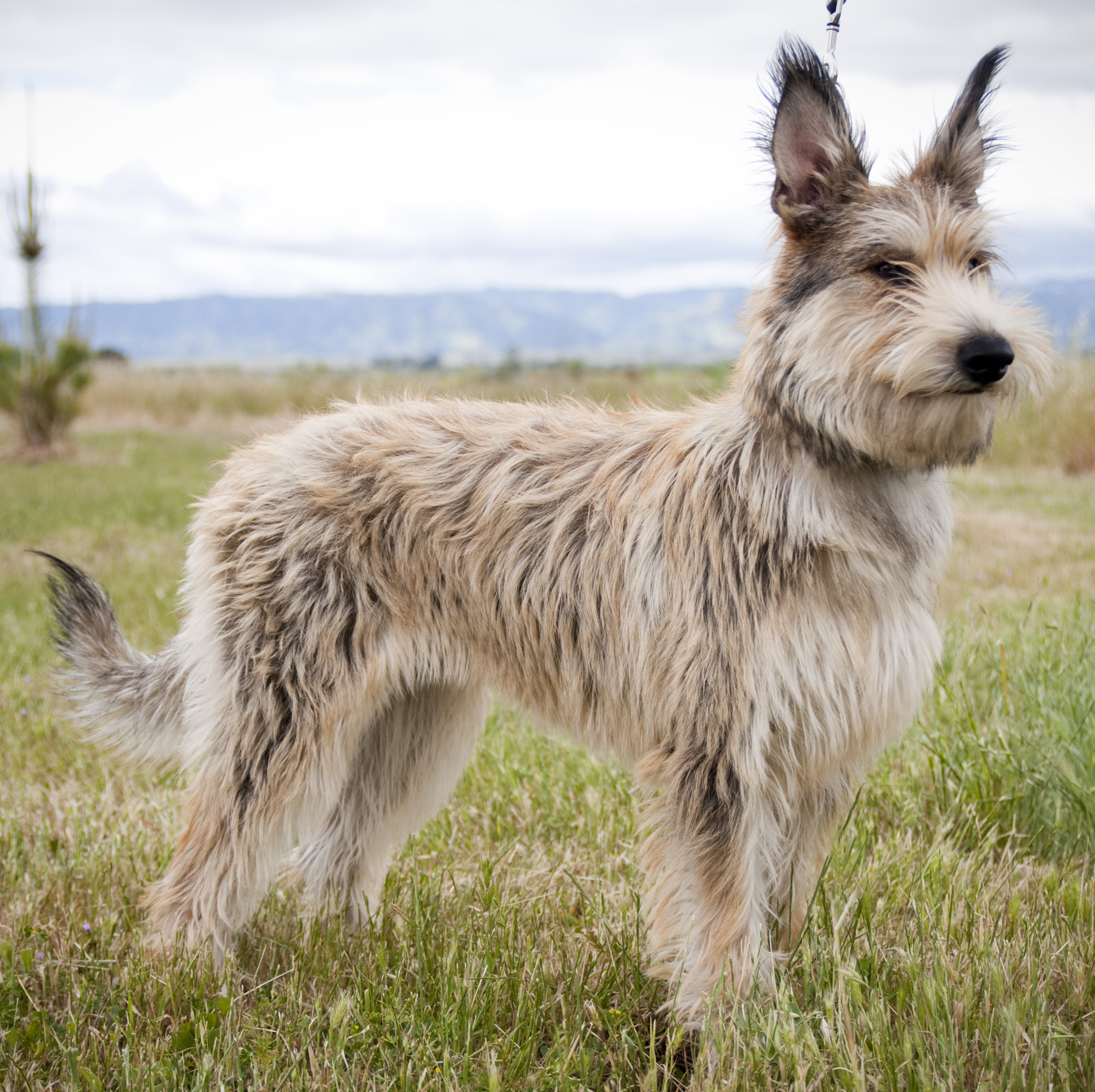 Herding Dog Breeds Photos