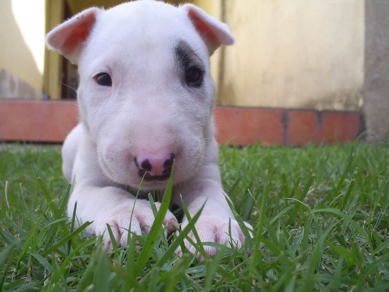 bull terrier pic bull terrier puppies rescue pictures information 1234