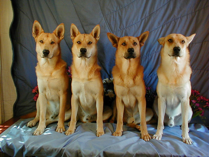 Carolina Dog Breed Black