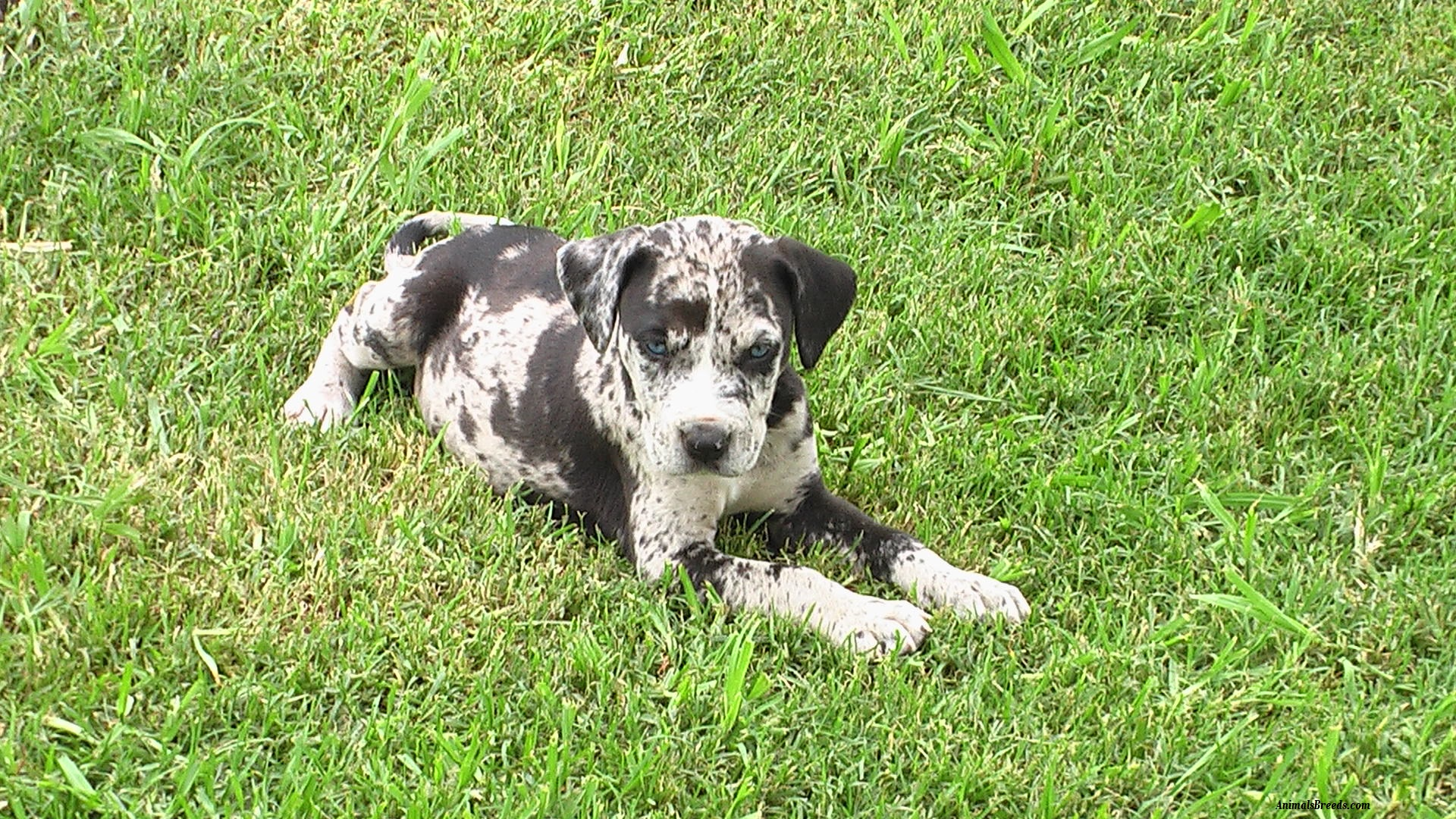 Red Catahoula Leopard Dog For Sale