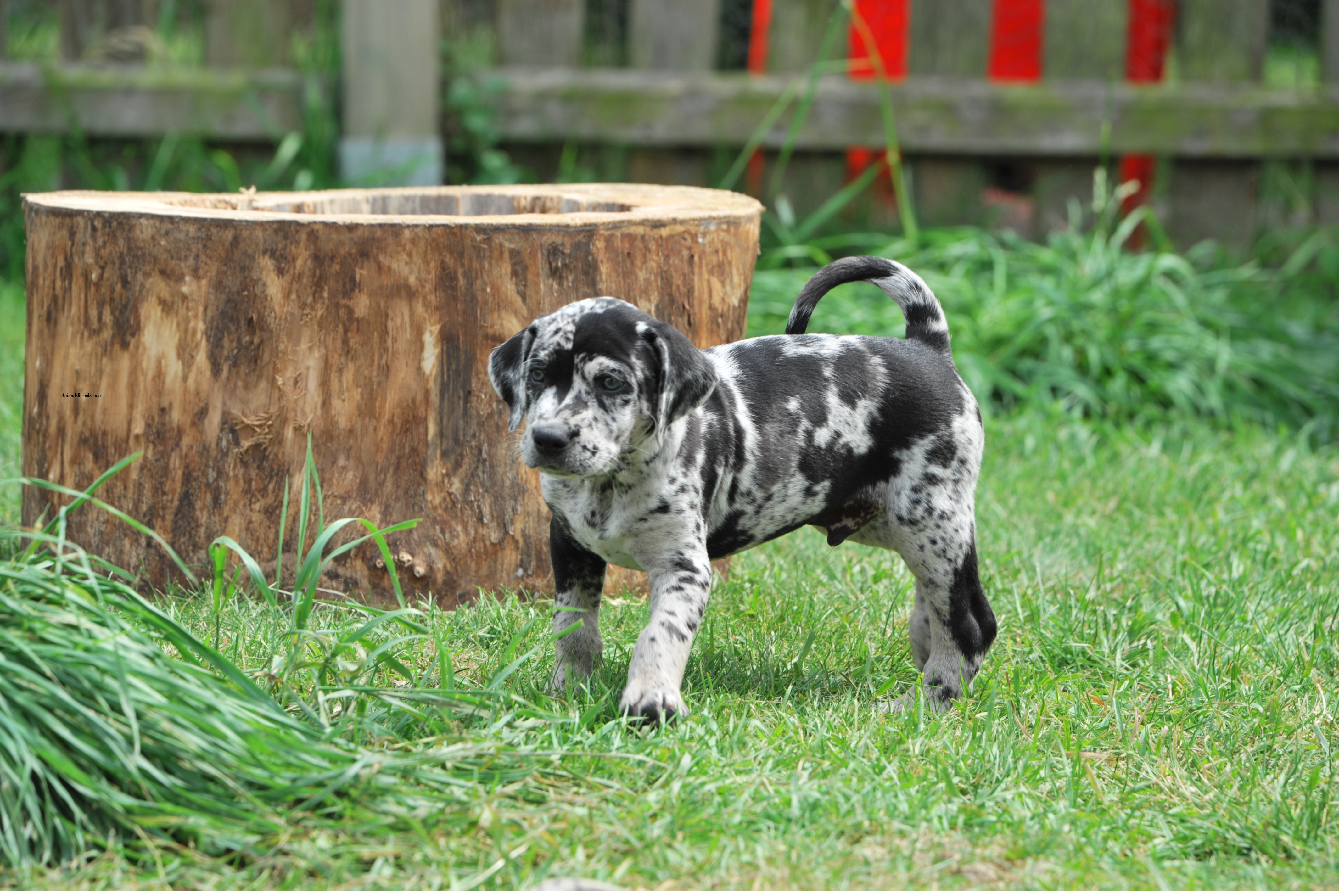 Dog Breed With Leopard In Name