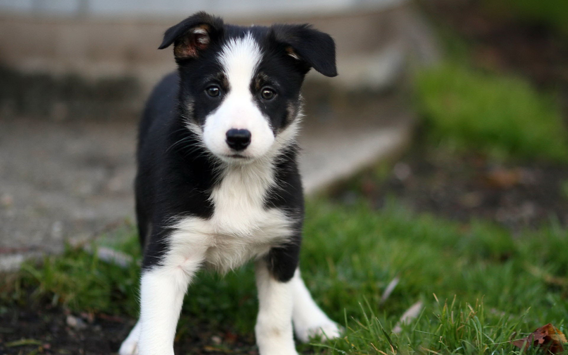 Border Collie Puppies Rescue Pictures Information