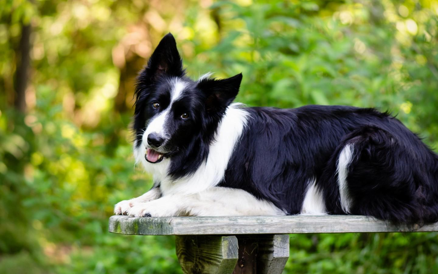 Dog Breeds Like Collie
