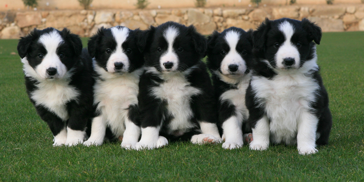 Border Collie - Puppies, Rescue, Pictures, Information