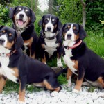 Entlebucher Mountain Dog