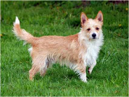 Portuguese Podengo Pequeno Dog Breed