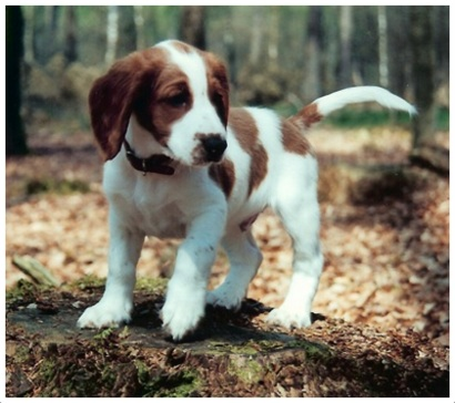 Welsh Springer Spaniel - Puppies, Rescue, Pictures