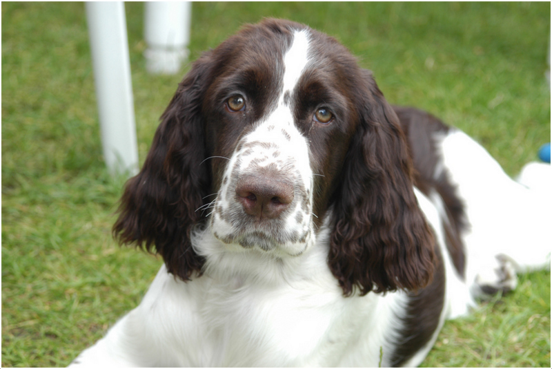 Dogs That Eat Spaniels