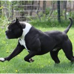 Alapaha Blue Blood Bulldog