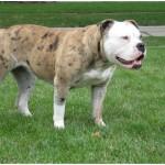 Alapaha Blue Blood Bulldog