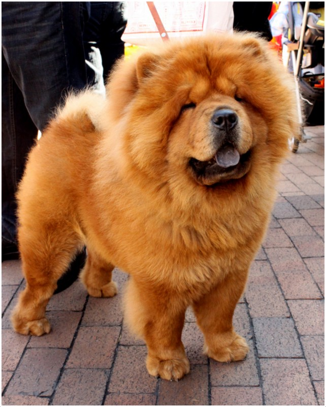 Chow Chow - Breeders, Facts, Pictures, Puppies, Rescue