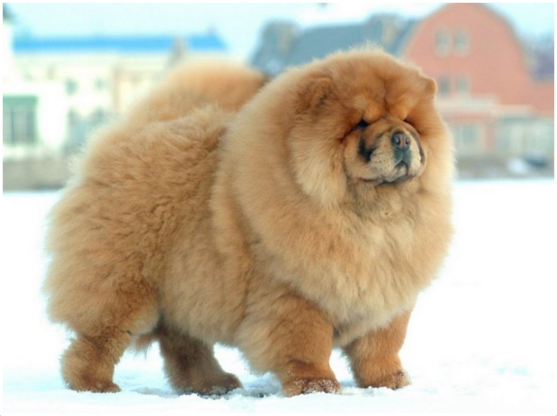 Chow Chow Dog Breed Images