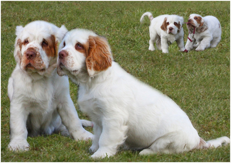 Clumber Spaniel Puppies Rescue Breeders Pictures